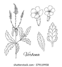 Set of medicinal herbs. Inky verbena vector isolated. Hand drawn verbena flower, leaf and healing plant. Hand drawn illustration medicinal herbs for print, decoration, image, design, label, wrapping