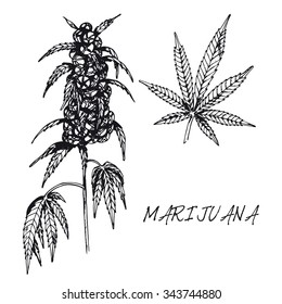 Set of medicinal plant. Black and white marijuana vector isolated. Hand drawn marijuana healing herb. Hand drawn illustration medicinal herbs for print, decoration, image, design, label, wrapping