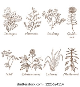 Set of Medicinal Plants. Collection in Hand Drawn Style. Vector Illustration of Crataegus Artemisia Cowberry Golden Root Dill Eleutherococcus Calamus Motherwort