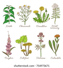 Set of Medicinal Plants. Colored Collection in Hand Drawn Style. Vector Illustration of Nettle Chamomile Dandelion Wild Rosemary Foxglove Coltsfoot Valerian Calendula