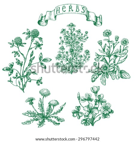 The set of medicinal plants. Hand drawn sketch of clover, oxalis, calendula, chamomile, dandelion and banner with inscription -  herbs.