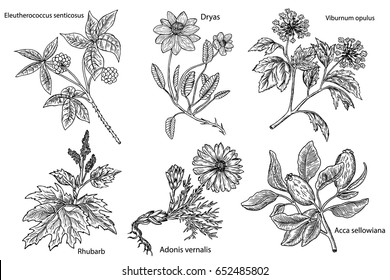 Set of medicinal plants isolated on white background(Adonis vernalis, Rhubarb, Dryas, Eleutherococcus senticosus, Acca sellowiana,Viburnum opulus). Hand drawn medical herbs.