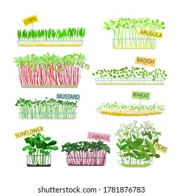 Set of Microgreens Icons Isolated on White Background. Corn, Arugula and Beets, Radish, Mustard and Wheat with Sunflower, Cabbage and Green Peas. Healthy Food Sprouts. Cartoon Vector Illustration