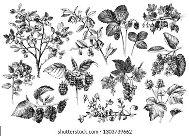 Set of monochrome hand drawn berries branches. Plants with ripe berries and flowers. Vector illustration