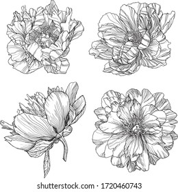Set monochrome peonys. Vector illustration. Creative realistic drawing, tattoo. Vintage paintings, postcard, background, wallpaper. Interior decoration, textile. Flowers gift for women.