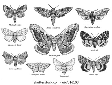Set of moths and butterflies illustration, pencil drawing, engraving, ink, line art, vector