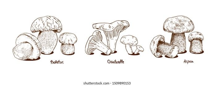 Set mushrooms hand drawn vector illustration. Sketch food drawing isolated on white background. Chanterelle, boletus, aspen mushroom.