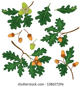 Set oak branches with green leaves and acorns on a white background. Vector