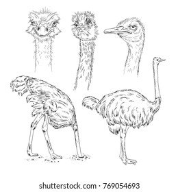 set of ostrich sketch, wildlife illustration