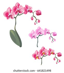 Set Phalaenopsis orchid, pink, red flowers with orange and fioletette dots, green stem and leaves on white background, digital draw tropical plant, realistic vector botanical illustration for design