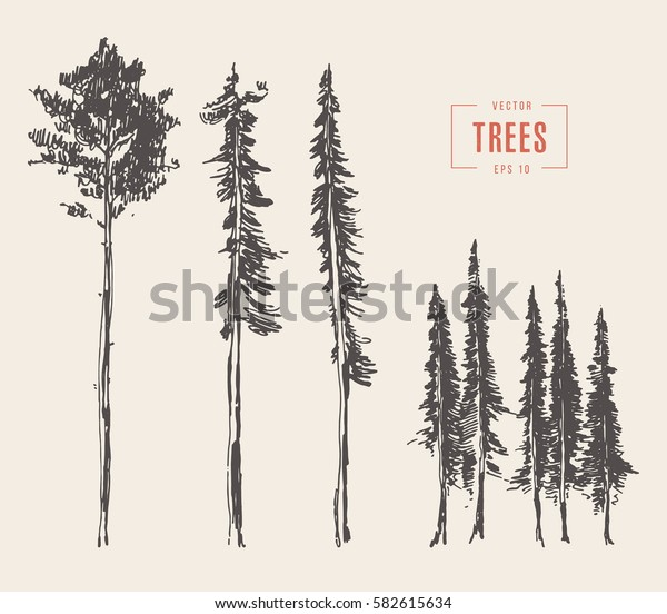 Set of pine trees vintage illustration, engraved style, hand drawn