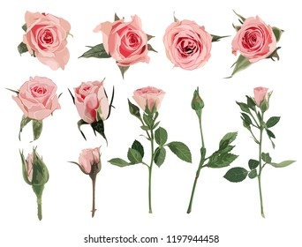 Set of pink roses. Realistic elements. No transparency and shadows. Vector illustration