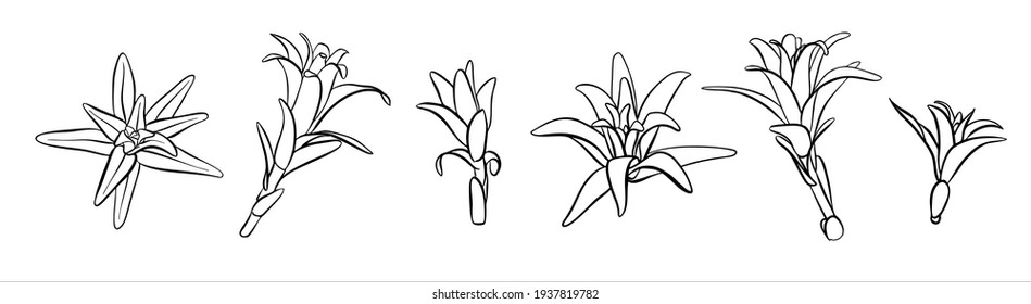 A set of plants sprouts of lilies without a flower. For coloring pages.