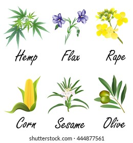 Set of plants, used for vegetable oil production (corn, olive, flax, sesame, rapeseed, hemp). Hand drawn vector illustration on white background.