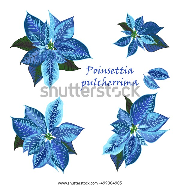 Set Poinsettia Flowers Blue Color Christmas Stock Vector Royalty Free 499304905