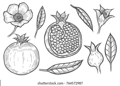 Set of Pomegranate fruit, berry and flowers leaves. Engraved hand drawn vintage retro vector