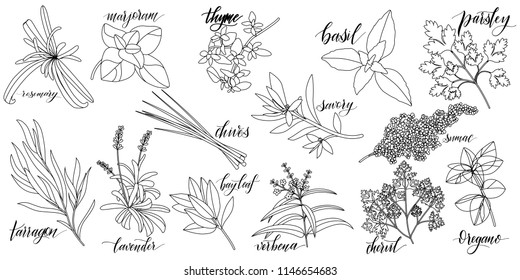 Set of popular culinary herbs with hand written names. Rosemary, majoram, thyme, basil, parsley, chives, savory, sumac, tarragon lavender bay leaf verbena chervil oregano