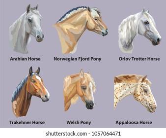 Set of portraits of horses and pony breeds (Trakehner horse, Welsh Pony, Orlov Trotter, Arabian horse, Appaloosa horse, Norwegian fjord ) isolated on purple background. Vector colorful illustration.