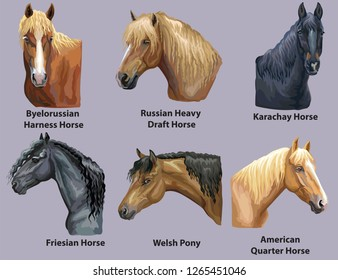 Set of portraits of horses and pony breeds (Russian Heavy Draft Horse; Welsh Pony; Friesian horse; American Quater horse) isolated on purple background. Vector colorful illustration.