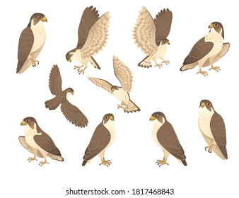 Set of predatory bird cute adult falcon cartoon animal design birds of prey character flat vector illustration isolated on white background