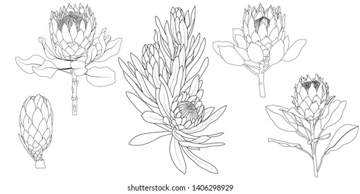A set of Proteus Flowers.Protea Realistic Vector illustration.Protea. Hand drawn vector illustration.Tropical king protea flower in blossom