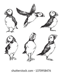 set of puffins drawings, vector sketch isolated on white