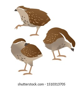 Set of quail birds in various poses. Vector illustration isolated on white background. Set of cute little chocolate birds isolated on white background.
