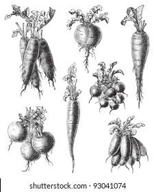 Set of radish - vegetable / vintage illustration from Meyers Konversations-Lexikon 1897