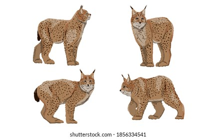 Set of realistic Eurasian lynx with different poses. Eurasian lynx or Lynx lynx. Big wild cats. Animals of Europe, Asia and America. Vector illustration
