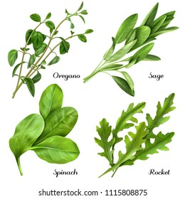 Set of realistic herbs and spices, fresh plants oregano, sage, spinach, arugula isolated vector illustration