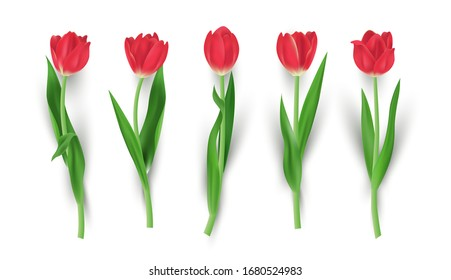 Set of realistic red tulip flower isolated vector illustration