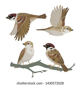 Set of realistic sparrows flying and sitting on branch. Vector illustration of little birds sparrows in hand drawn realistic style isolated on white background. Element for your design, print.