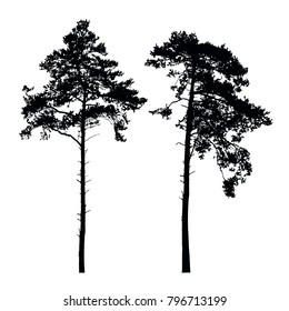 Set of realistic vector silhouettes of high coniferous trees isolated on white background