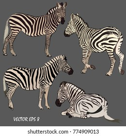 set of realistic zebras in various postures, each object is located on a separate layer, gray background