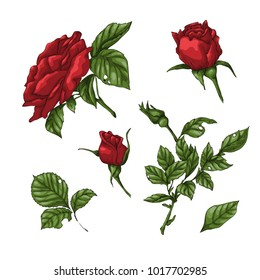 Set of red rose flower, bud and leaves. Isolated on white vector illustration