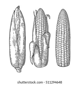Set ripe cob of corn. Vector vintage engraving illustration. Isolated on white background.