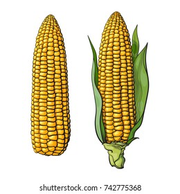 Set of ripe corn cobs. With leaves and without. Ear of corn in sketch style. Hand drawn vector illustration isolated on white background.
