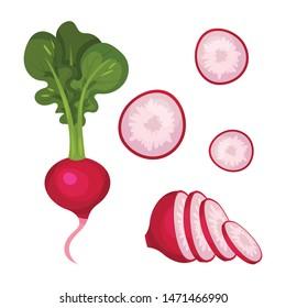 Set of ripe radishes. Vector illustration on white background.