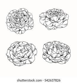 Set of rose flower by hand drawing on white backgrounds. Vector illustration