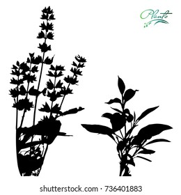 Set of sage. Flowers on stems with leaves. Medicinal plant. Silhouette. Detailed vector illustration.