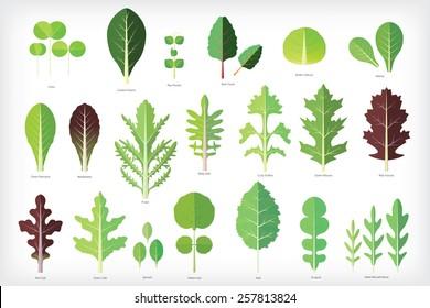 Set of salad greens vector. Leafy vegetables