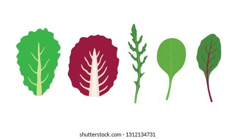 Set of salad greens vector. Mix of salad leaves. Arugula, chard, spinach