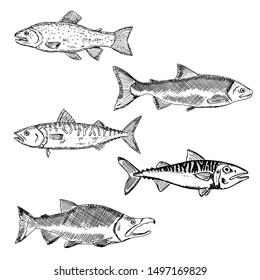 Set of salmon. Vector cartoon illustrations of fish. Hand-drawn seafood. Isolated objects on a white background.