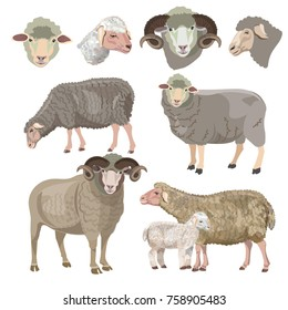 Set of sheep on white background. Vector illustration