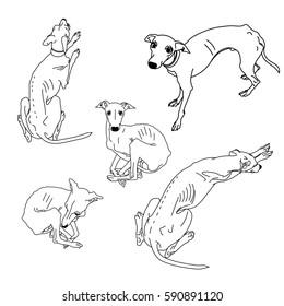 Set of skinny Italian Greyhounds. Dog collection