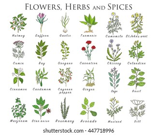 Set of spices, medicinal herbs and officinale healing plants icons. Hand drawn illustrations. Botanic sketches.