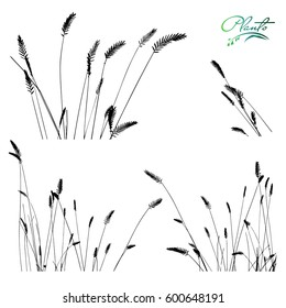 Set of spikelets of grass. Collection of medicinal plants. Detailed vector illustration.