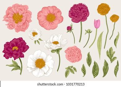 Set. Spring flowers. Peonies, tulip, ranunculus, rose. Vintage vector botanical illustration