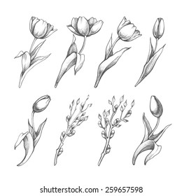 Set of spring flowers tulips branches. Pencil sketch collection vector illustration
