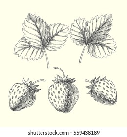 Set of strawberry. Vector hand drawn illustration of berries and leaves isolated on white
